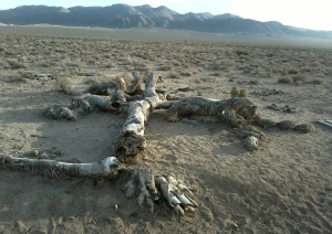 The real joshua tree (meandu2.wordpress.com)